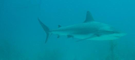 Shark diving - O Mergulho Com Tubarōes (3/6)