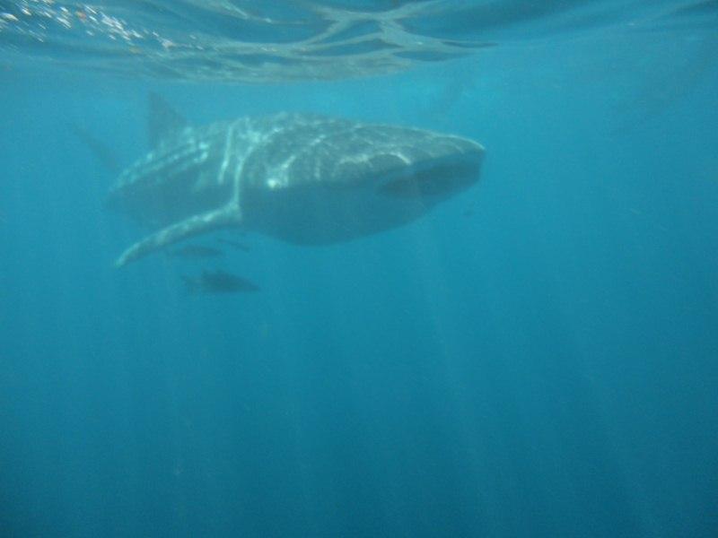 Tubarão baleia, o maior peixe dos oceanos. (1/4)