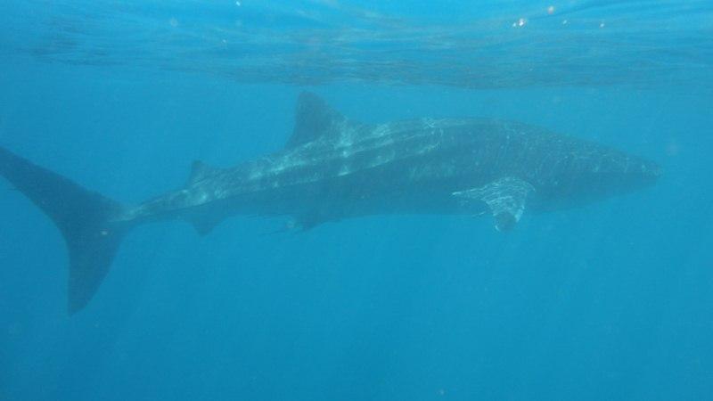 Tubarão baleia, o maior peixe dos oceanos. (4/4)