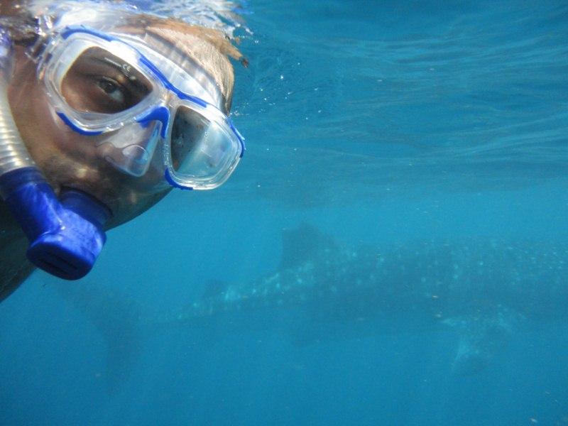 Tubarão baleia, o maior peixe dos oceanos. (3/4)